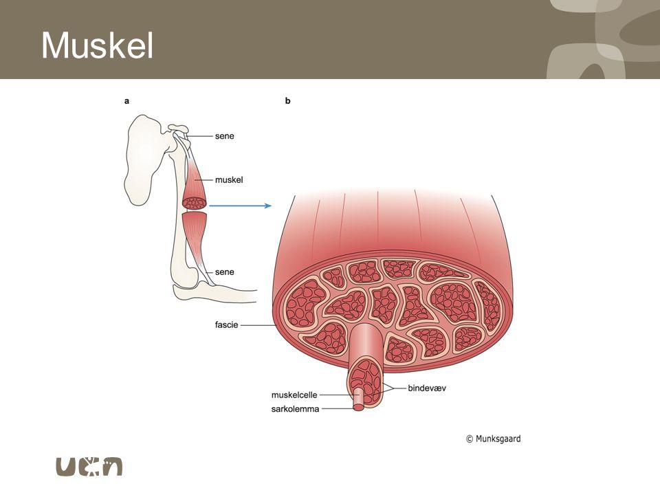Muskel 11