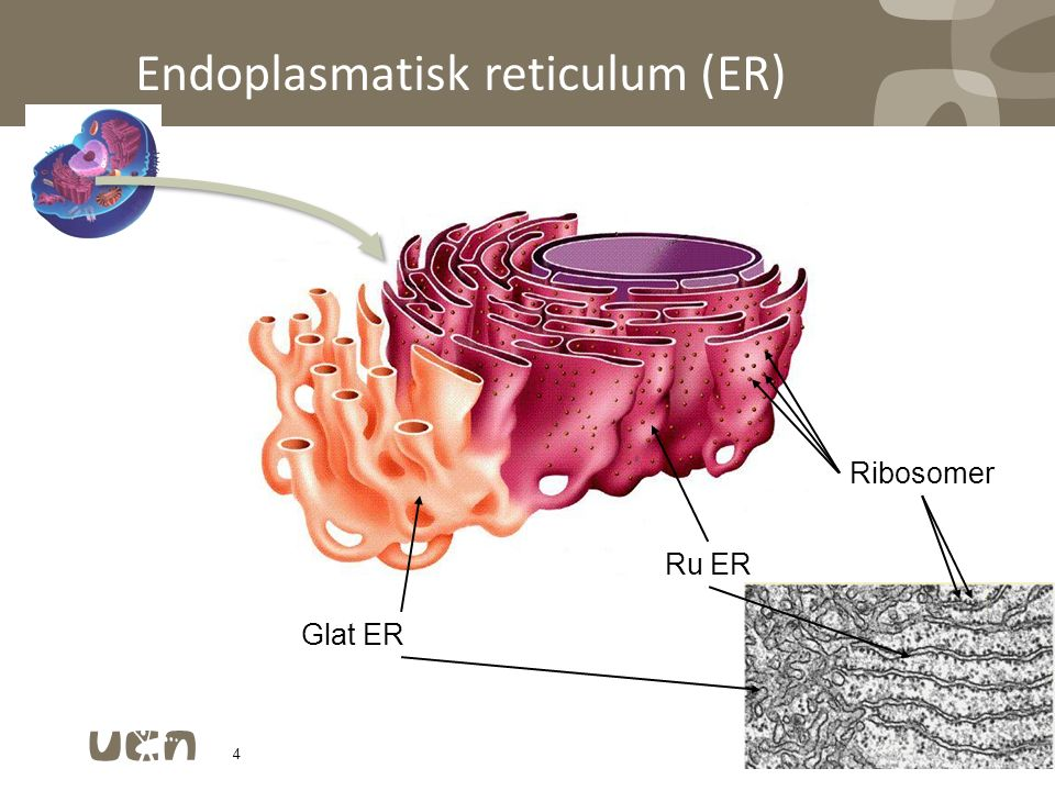 Endoplasmatisk reticulum (ER)