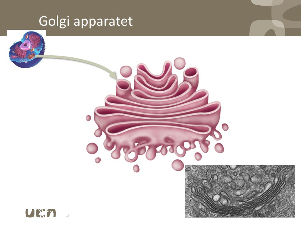 Golgi apparatet