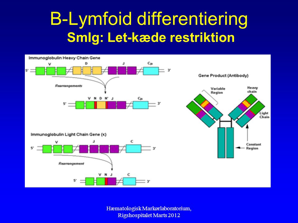 B-Lymfoid differentiering SmIg: Let-kæde restriktion