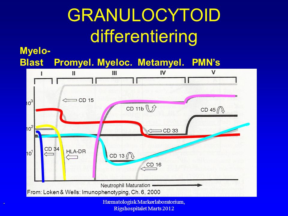 GRANULOCYTOID differentiering