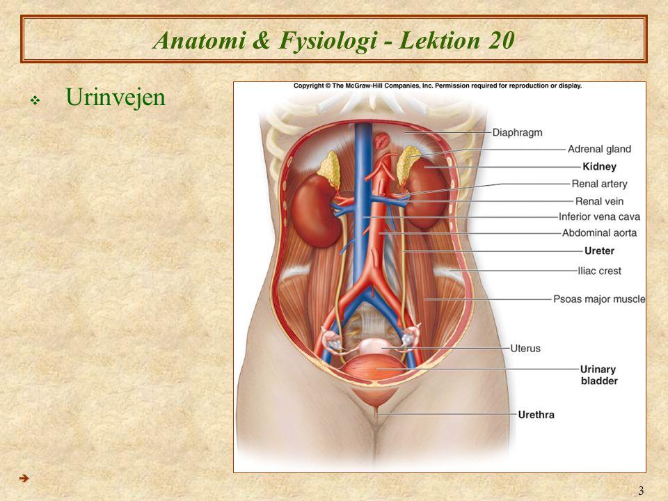 Anatomi Fysiologi XX Nyrer Og Urinveje I