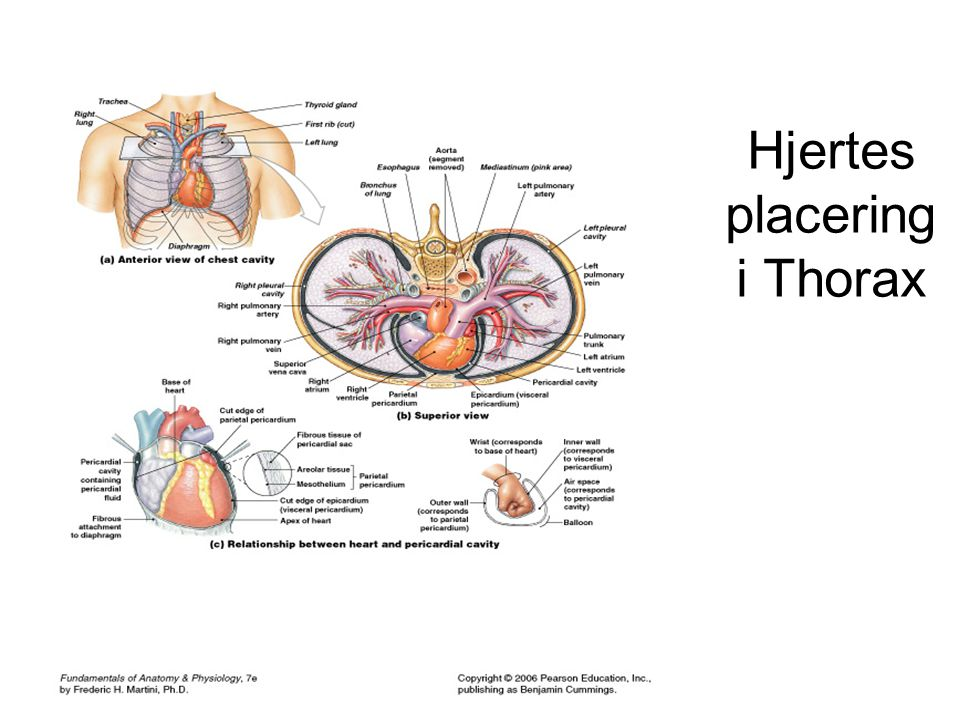 Hjertes placering i Thorax
